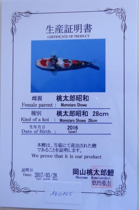 Maruten Showa 160105 2