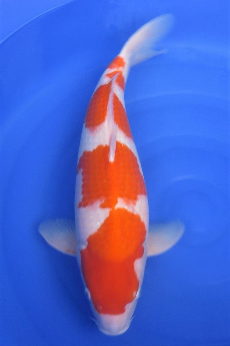 Kohaku 200115 1