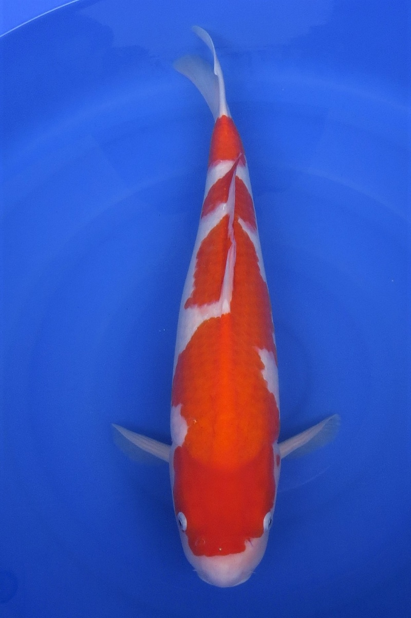 Kohaku 200117 1