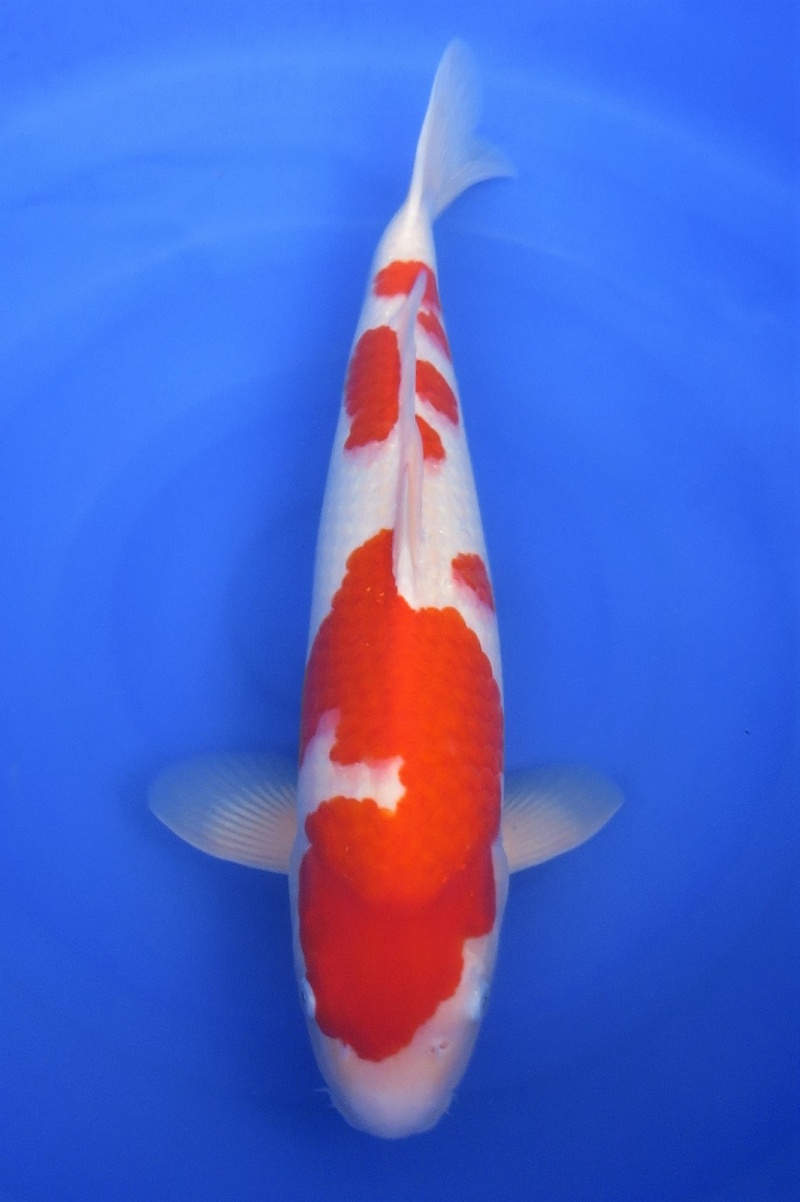 Kohaku 200118 1
