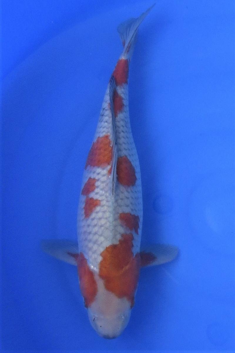 Ochiba shigure 200114 1